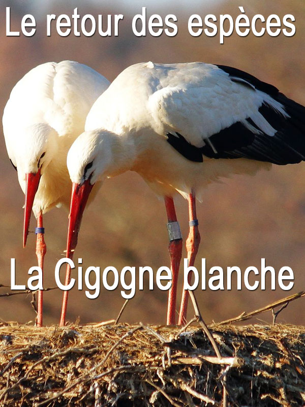 Le retour des espèces - La cigogne blanche | Charbonnier, Laurent (Réalisateur)